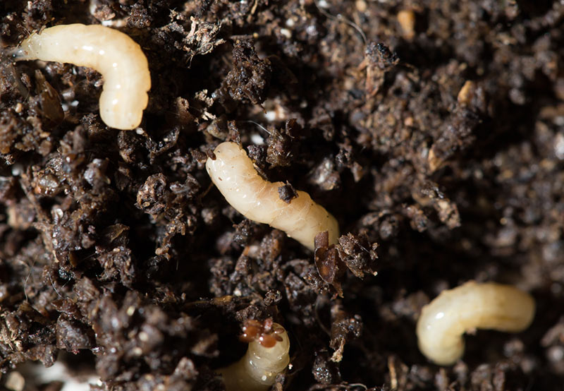 3 Ways On How To Get Rid Of Tiny White Bugs In Soil